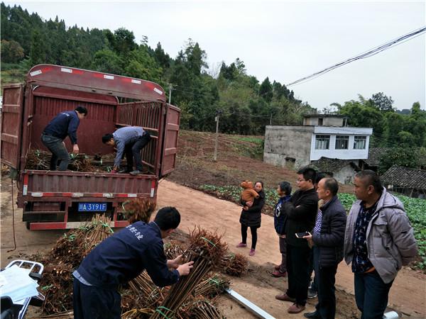 无花果苗种植人员苗木卸车现场图